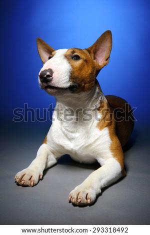Bull terrier, funny portrait of lying breed dog on blue grey background, studio shoot  - stock photo