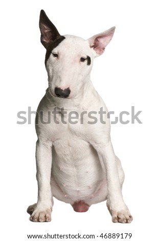 Bull terrier, 9 months old, sitting in front of white background - stock photo