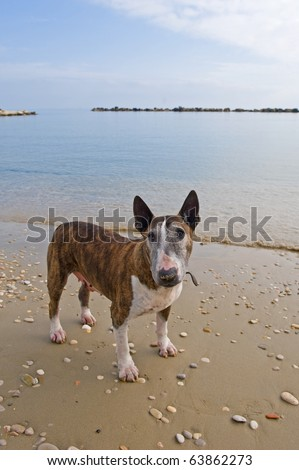 Bull terrier on the beach.
