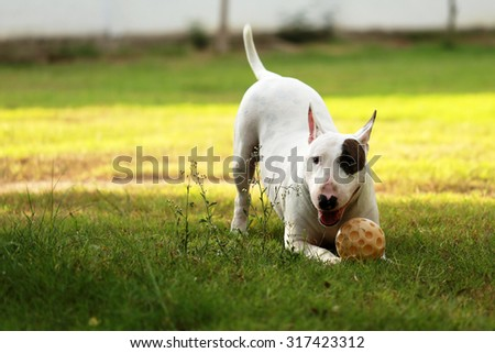 Bull terrier playing with yellow ball