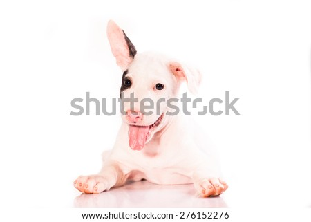 Bull Terrier puppy, 2 months old on white background, studio shot - stock photo