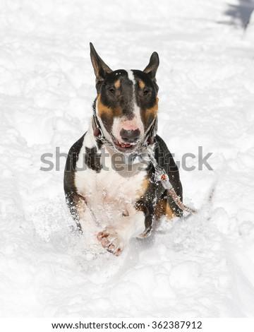 Bull Terrier running in the deep snow - stock photo
