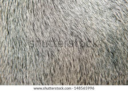 bull white hair closeup macro detail texture background - stock photo