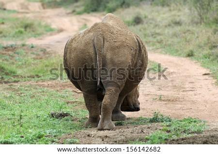 Bull, White Rhinoceros, from behind - stock photo