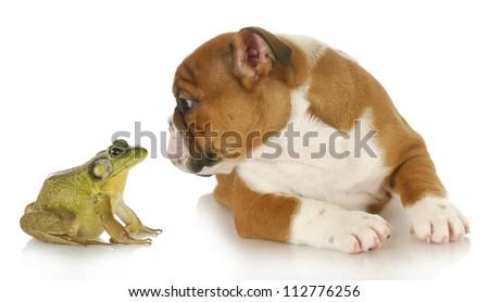 bulldog and bullfrog - english bulldog and bullfrog isolated on white background - stock photo