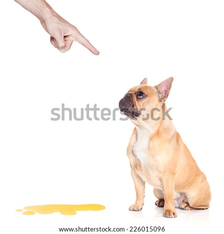bulldog dog being punished for urinate or pee  at home by his owner, isolated on white background - stock photo