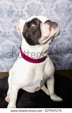 Bulldog Dog headshot instudio