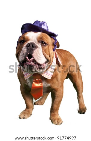 Bulldog Dressed up in halloween outfit - stock photo