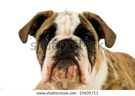 Bulldog isolated on a white background looking at camera