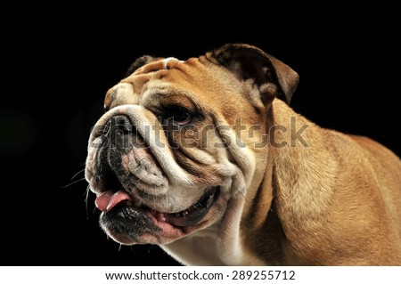 Bulldog portait in a black photo studio