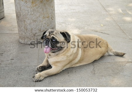 Bulldog puppies, close-up images  - stock photo