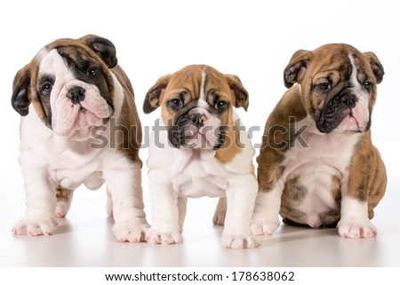 bulldog puppies looking at viewer - 8 weeks old - stock photo