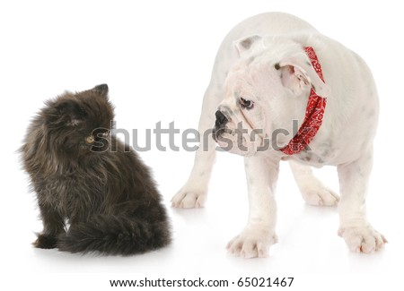 bulldog puppy and persian kitten interacting with reflection on white background - stock photo