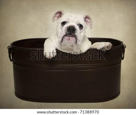 Bulldog puppy in tub - stock photo