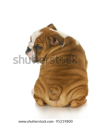 bulldog puppy looking over shoulder - 10 weeks old - stock photo