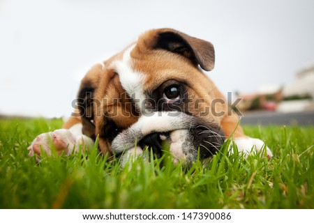 Bulldog puppy playing in grass - stock photo