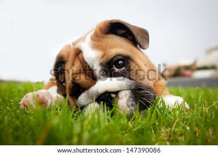 Bulldog puppy playing in grass - stock photo
