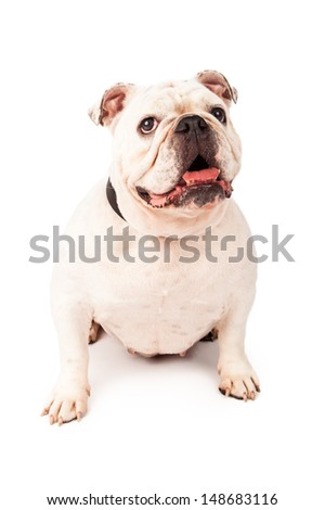 Bulldog siting against a white background with a happy expression on her face