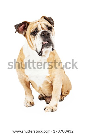 Bulldog sitting down against a white background with a confused look on his face - stock photo