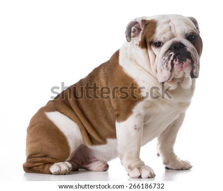 bulldog sitting looking at viewer on white background - stock photo