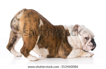 bulldog with bum up in the air and looking at viewer on white background - stock photo