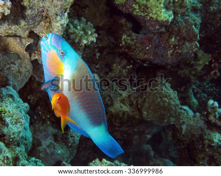 Bullethead parrotfish and orange anthias