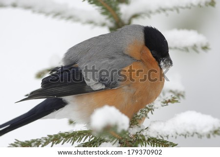 Bullfinch, male  (Pyrrhula pyrrhula, Eurasian Bullfinch)  - stock photo