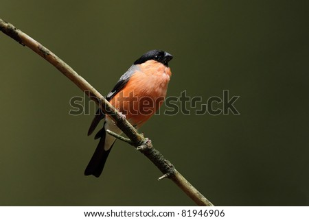 Bullfinch on a twig