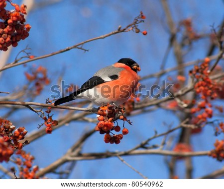 Bullfinch on branch of mountain ash