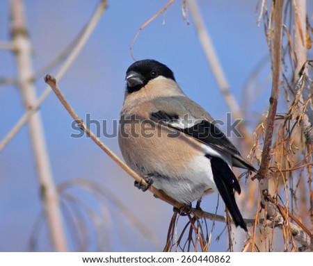 Bullfinch on the branch of maple  - stock photo