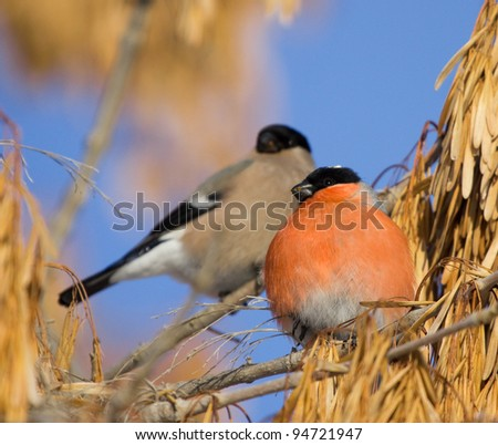 Bullfinches on branch of maple - stock photo