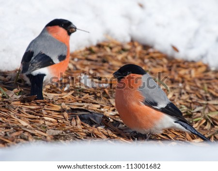 Bullfinches on the ground with maple seeds - stock photo