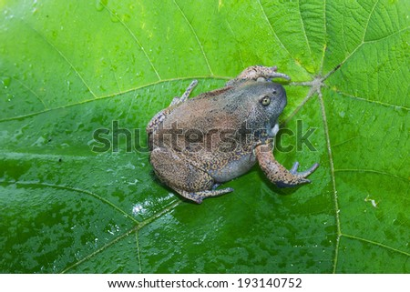 bullfrog  isolate on leaf - stock photo