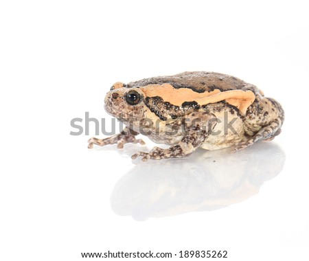 Bullfrog, Rana catesbeiana, against white background, studio shot. - stock photo