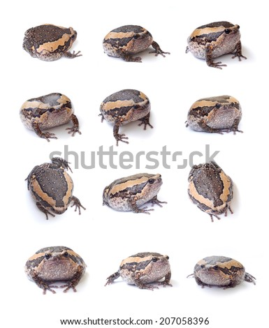 bullfrog set isolate on white background  - stock photo
