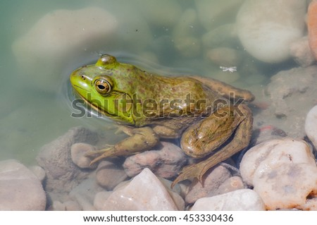 Bullfrog sitting in the water in a swamp.