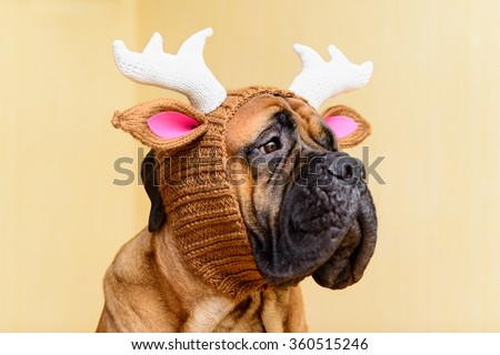 bullmastiff dog in winter hat  portrait close-up