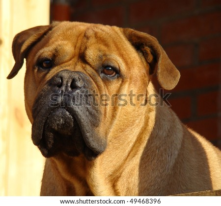 Bullmastiff Outdoor Portrait