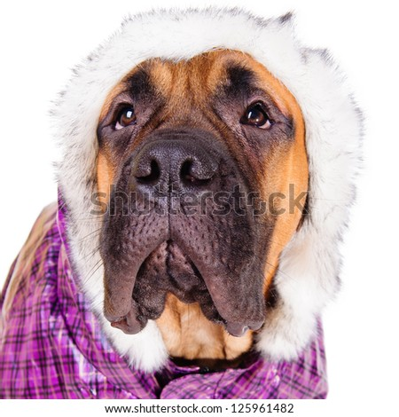 bullmastiff puppy. dog dressed in winter warm clothes. close-up portrait. isolated on white background