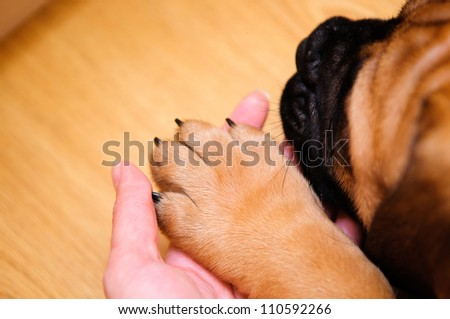bullmastiff puppy paw in a human hand closeup - stock photo