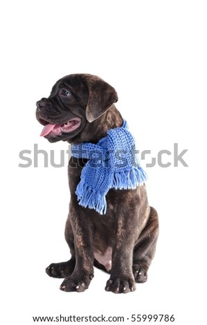 Bullmastiff puppy with handmade scarf sitting, isolated - stock photo