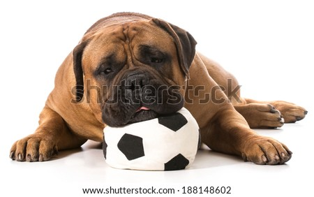 bullmastiff resting his head on stuffed soccer ball on white background - stock photo