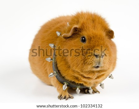 Bullpig - stock photo
