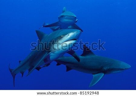 Bullsharks swimming together, Mozambique - stock photo