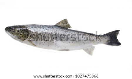 Bulltrout (Salmo trutta trutta). Eastern (freshwater) part of Gulf of Finland. Baltic sea. Fish isolated on white background