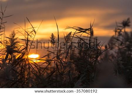bulrush at sunset - stock photo
