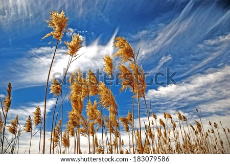 Bulrush on background of cloudy sky