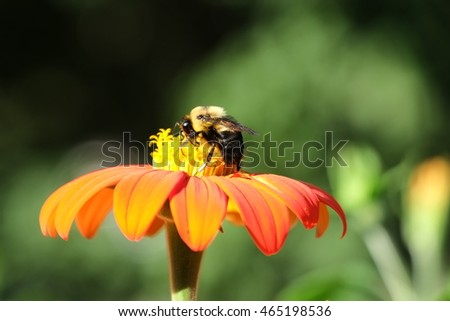 Bumble bee eating nectar