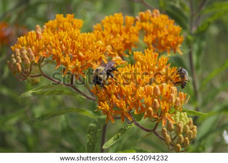 bumble bee in an orange flower