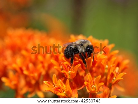 bumble bee on a butterfly weed or asclepias